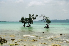 Mangrove near Havelock jetty